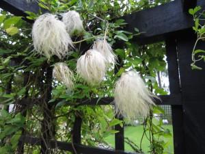 Clematis Tangutica Seedheads