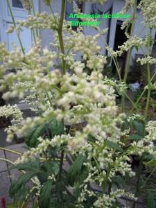 IMG_0402 Artemesia lactiflora 'Elfenbein'