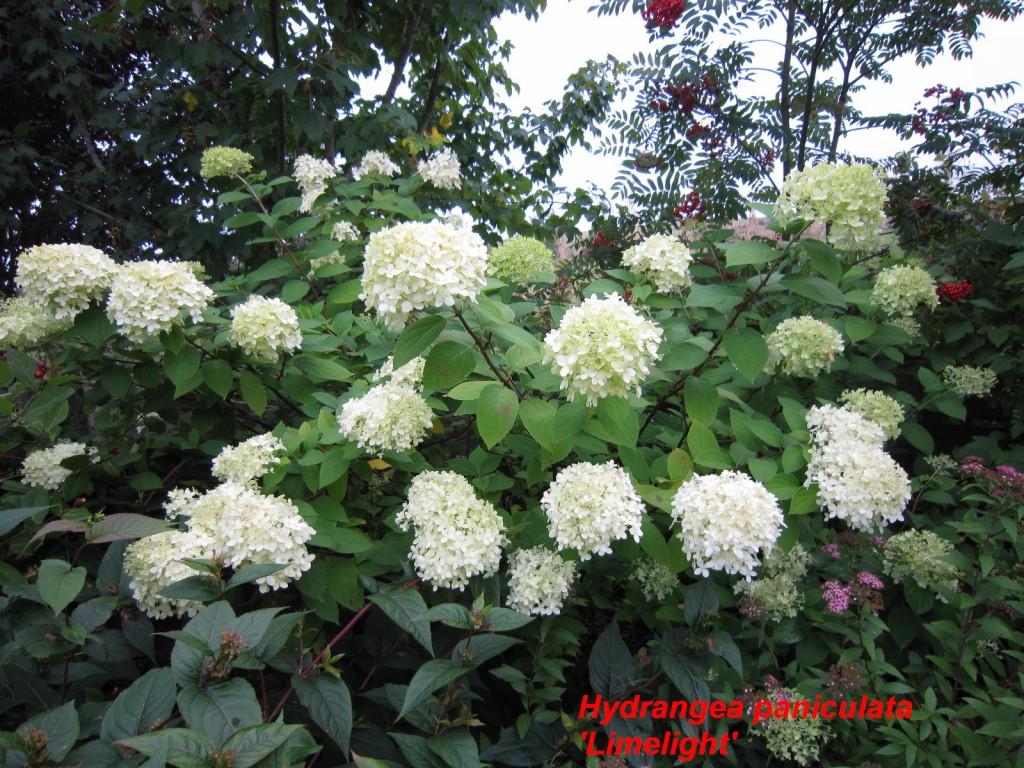 IMG_0424 Hydrangea p. limelight