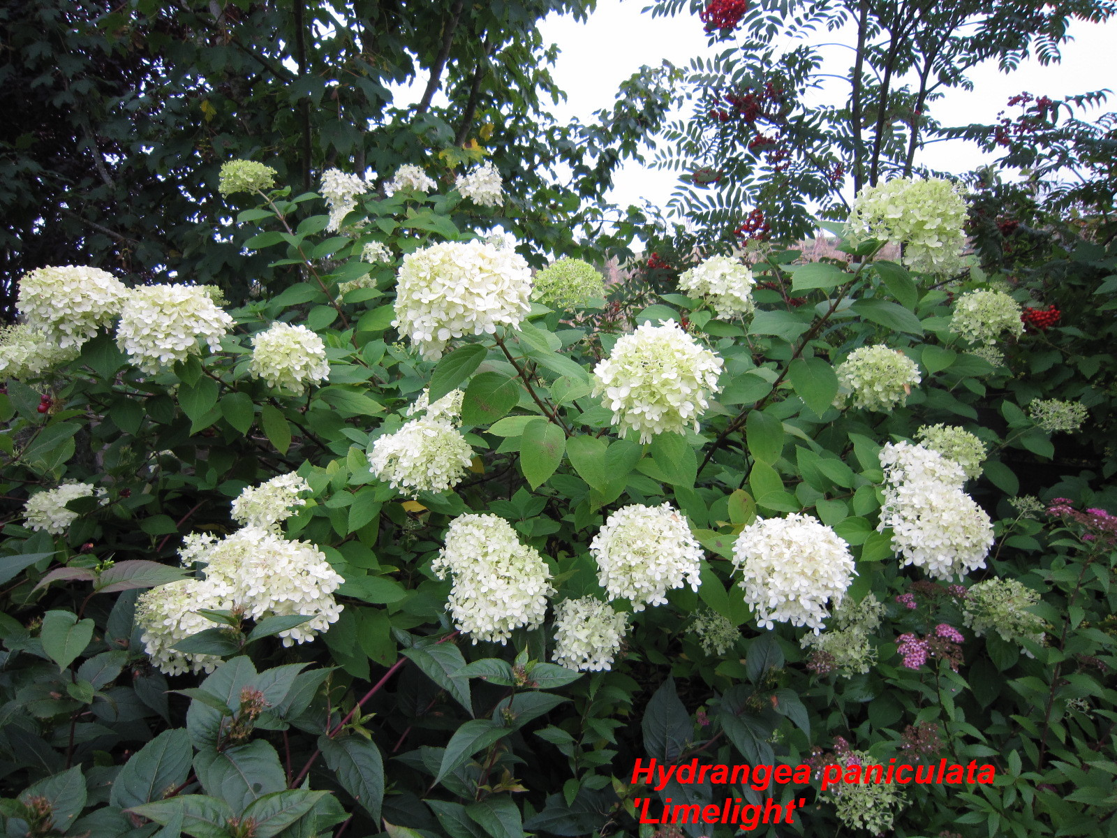 hydrangea paniculata 39 limelight 39 cc plants. Black Bedroom Furniture Sets. Home Design Ideas