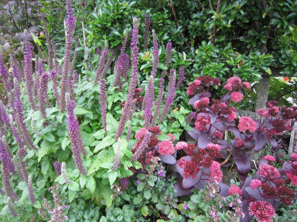 Teucrium hyrcanicum 'Purple Tails' (L/H side)
