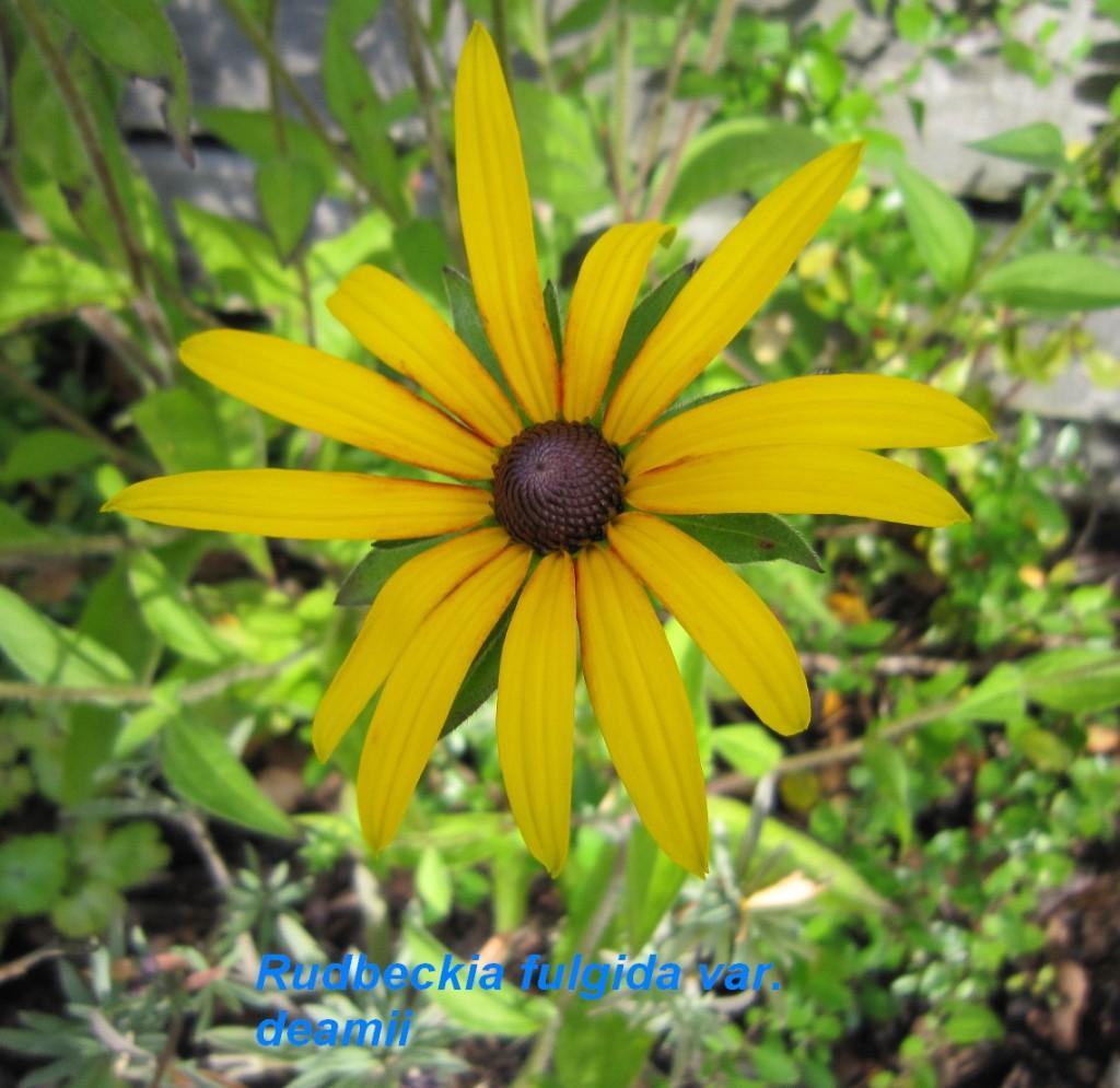IMG_0484 Rudbeckia ful. deamii