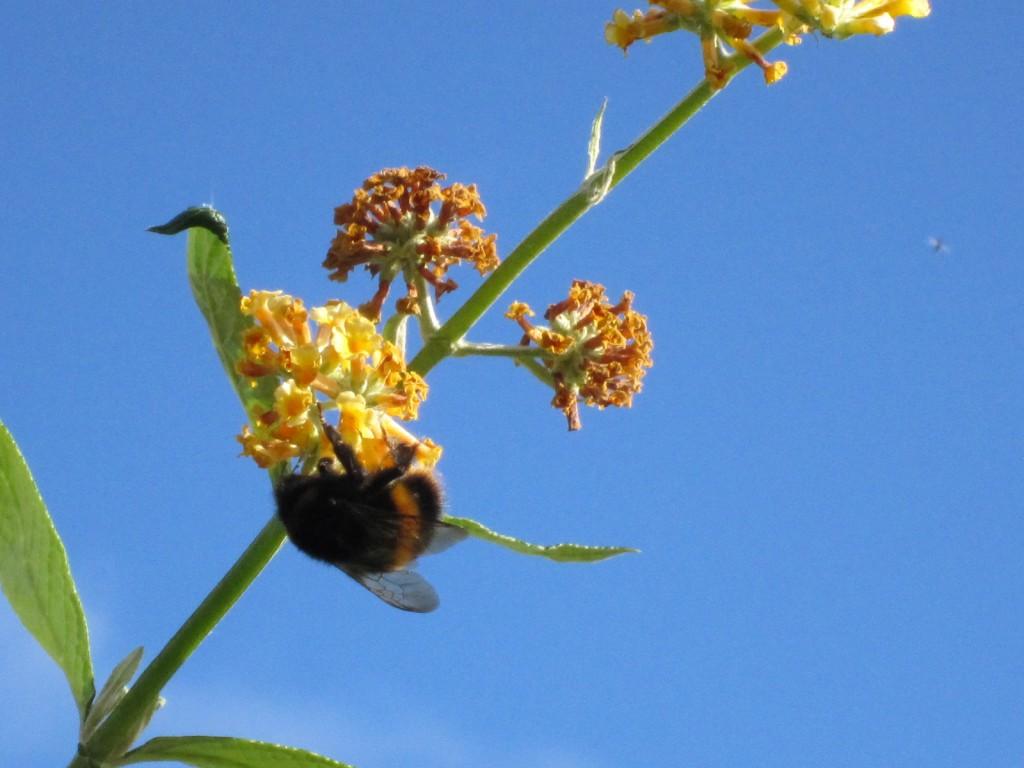 Bee on Buddleja globosa