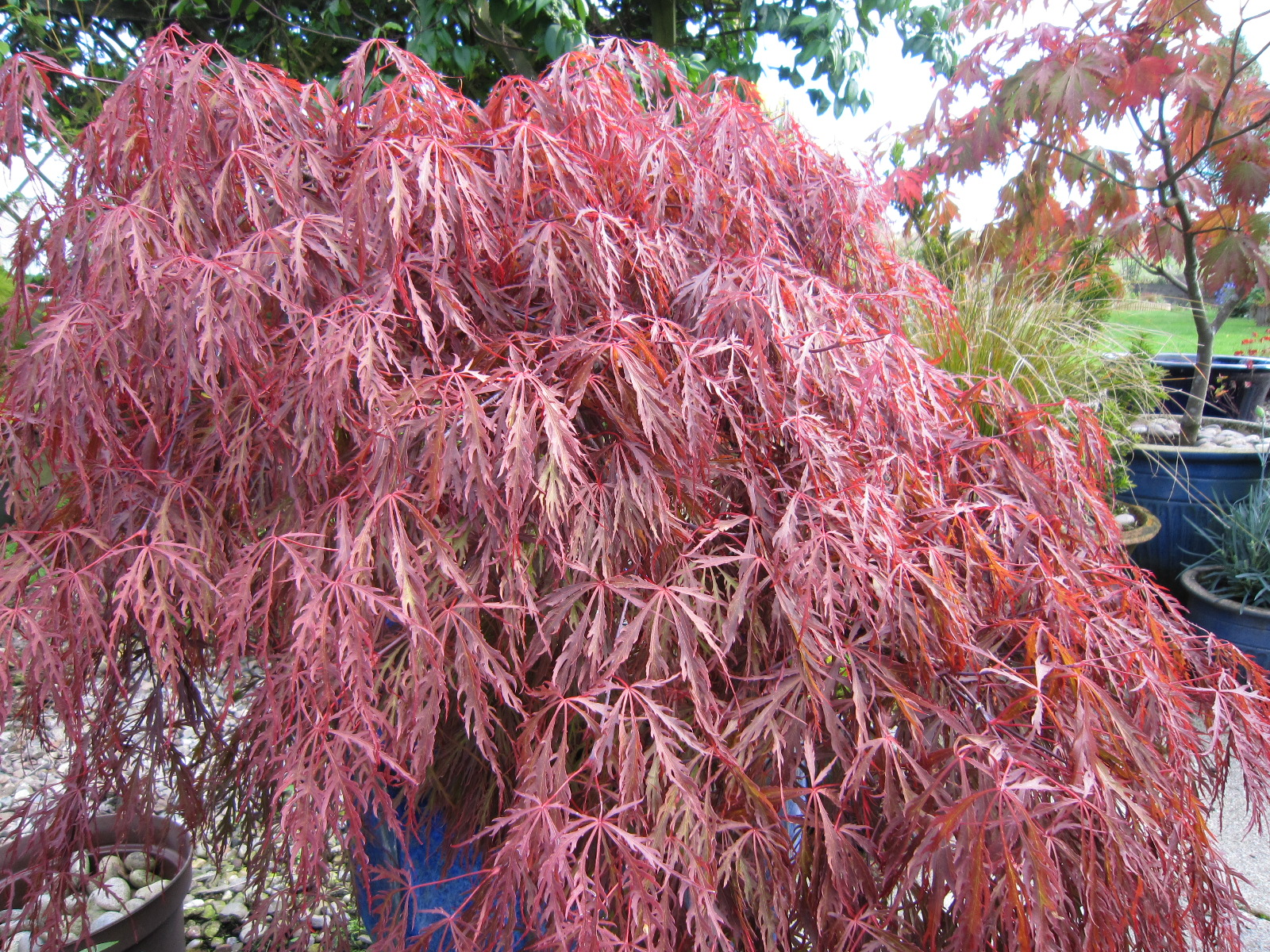 acer palmatum var dissectum 39 garnet 39 agm cc plants. Black Bedroom Furniture Sets. Home Design Ideas